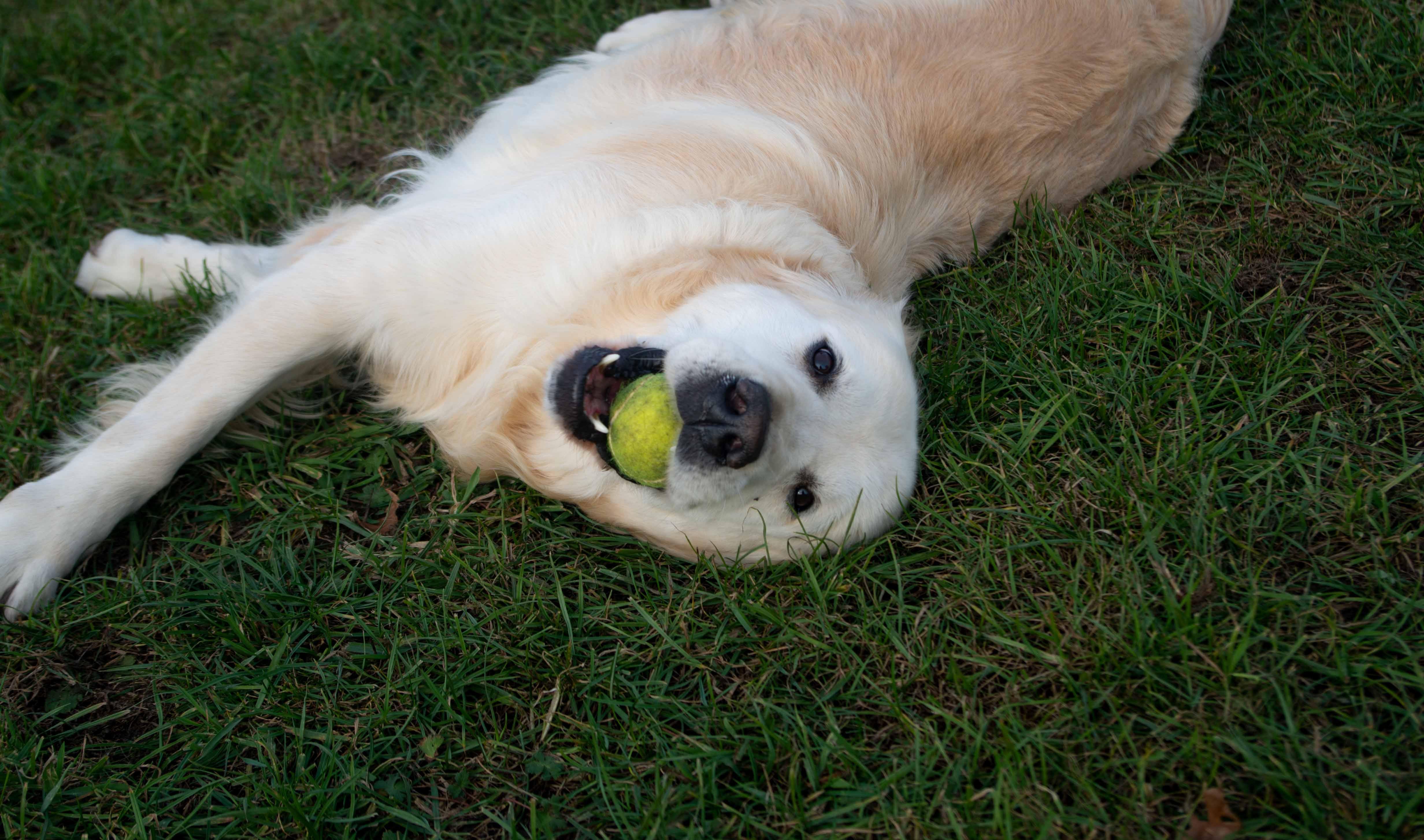 Liggende hond met een bal.