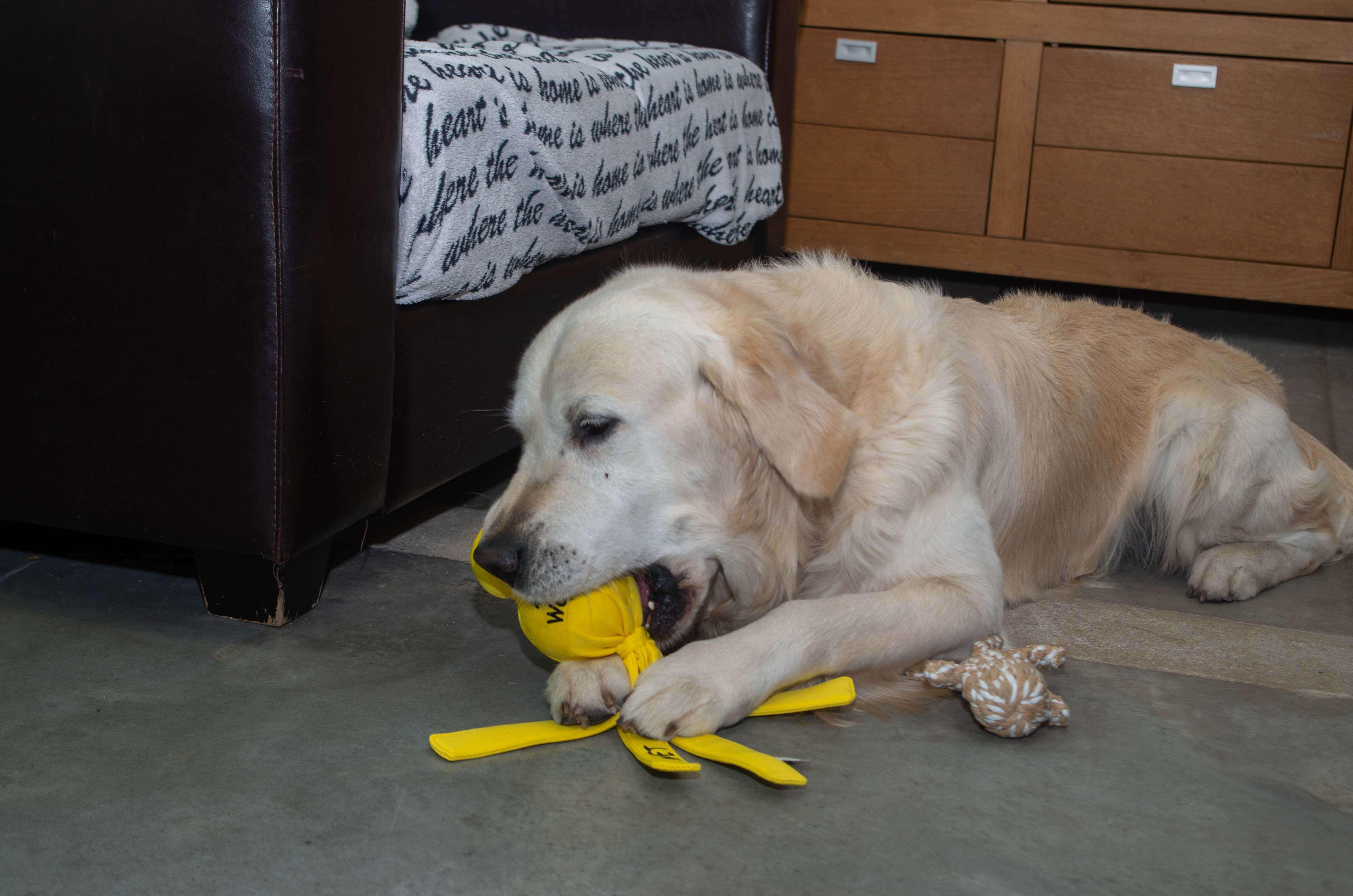 Hond die ligt te spelen met een speeltje.